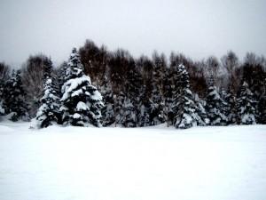 Trees n Snow