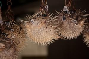The Pufferfish of Enoshima